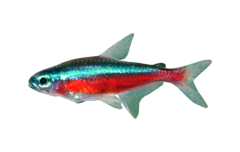 Rød neonfisk