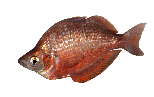 Red rainbowfish