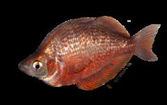Rød regnbuefisk