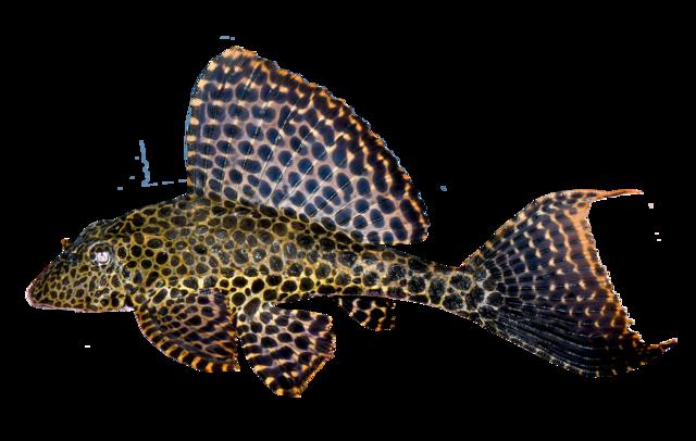 Sejlfinnet leopardmalle