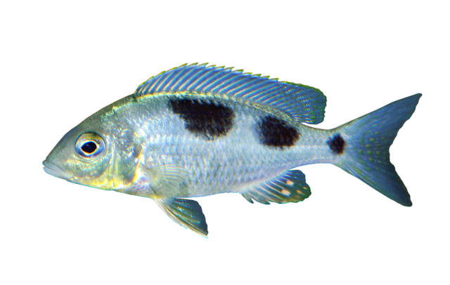 Ctenopharynx nitidus