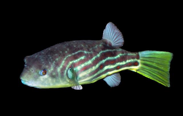 Globe fish