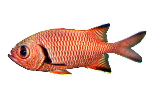 Blotcheye soldierfish