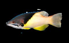 Sortbæltet svinefisk