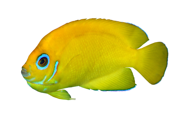 Gul dværgkejserfisk