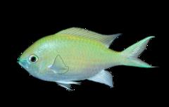 Blågrøn chromis