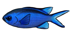 Blue chromis