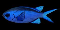 Blå safirfisk