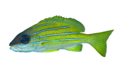 Common bluestripe snapper