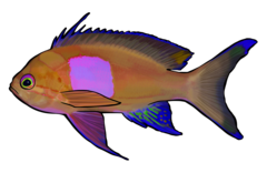 Square anthias