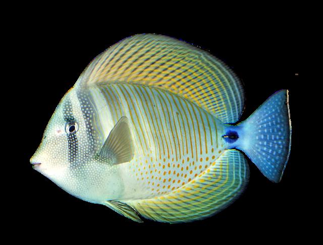 Indian sailfin tang