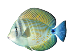 Indian sailfin tang