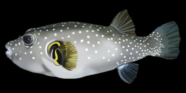 Vitfläckig blåsfisk