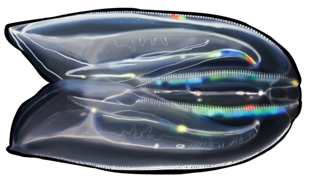 Warty comb jelly