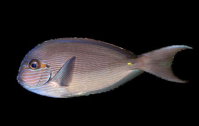 Elongate surgeonfish