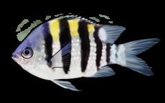 Fembåndet sergentfisk