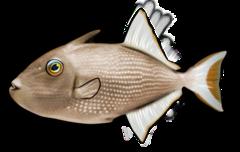 Gylden aftrækkerfisk