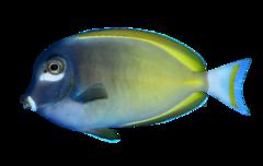 Filippinsk Kirurgfisk