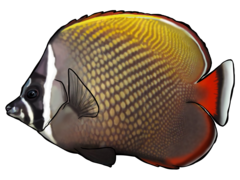 Redtail butterflyfish