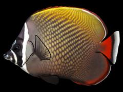 Rödstjärtad fjärilsfisk