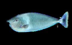 Langsnudet næsehornsfisk