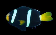 Mörk clownfisk
