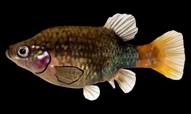 Redtail splitfin