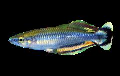 Madagaskar regnbuefisk