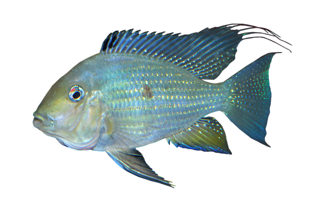 Threadfin acara