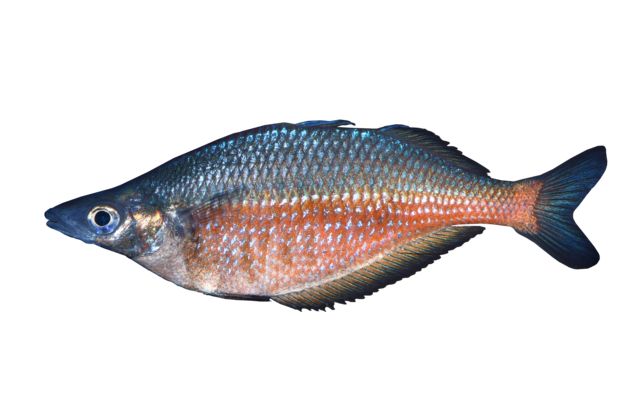 Sentani rainbowfish