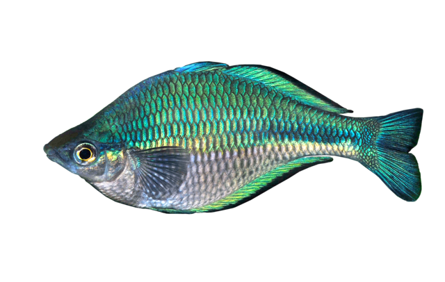 Lake Kutubu rainbowfish