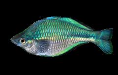 Blå regnbuefisk