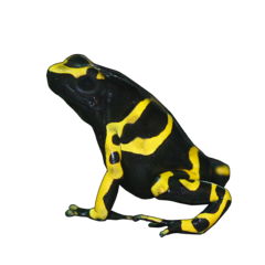Yellow-headed Poison Frog