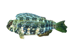 Jeweled rockskipper blenny