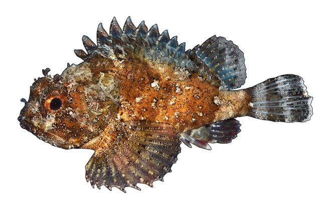 Sort dragehovedfisk