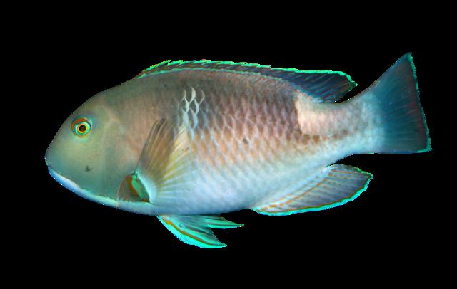 Orange-dotted tuskfish