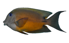 Twospot surgeonfish