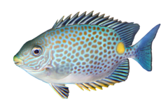 Gold-saddle rabbitfish