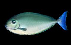 Thorpes næsehornsfisk