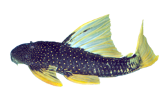Golden sailfin pleco