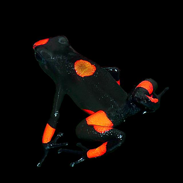 Harlequin Poison Frog