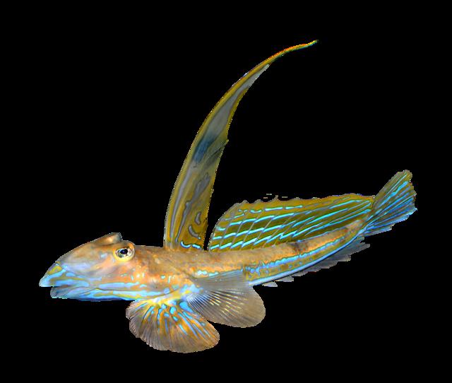 Stribet fløjfisk