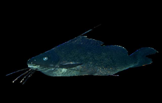 Sailfin pimeloid