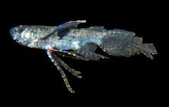 Sommerfuglefisk