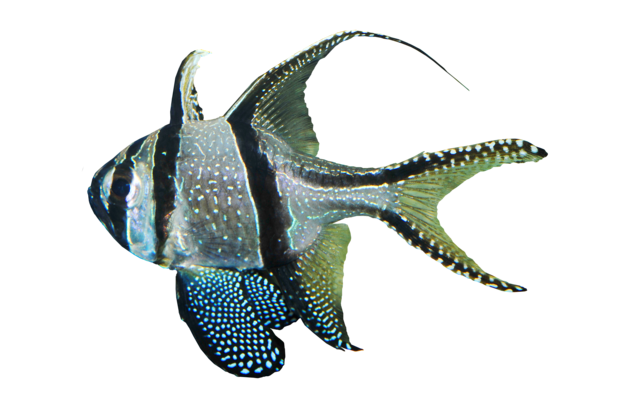 Bangaii kardinalfisk
