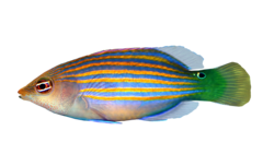 Sekslinjet læbefisk