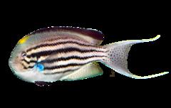 Svalehalekejserfisk