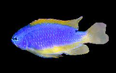 Tauopu