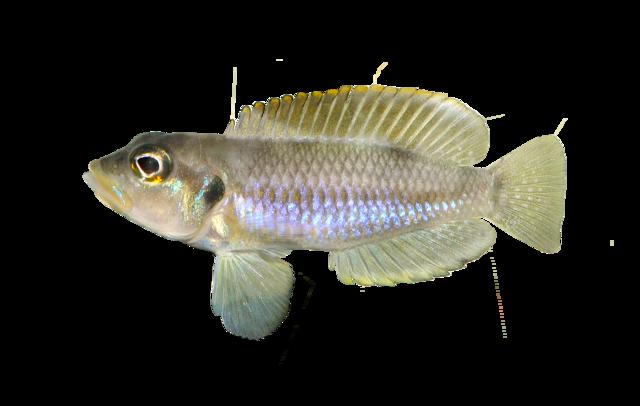 Lila Sneglehus Cichlid