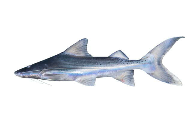 Black Shovelnose Catfish